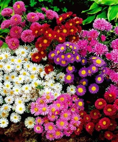 Aster fleur vivaces