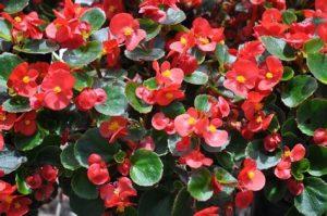 Bégonia fleur