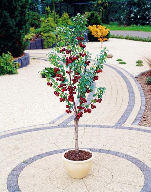 Cerisier nains