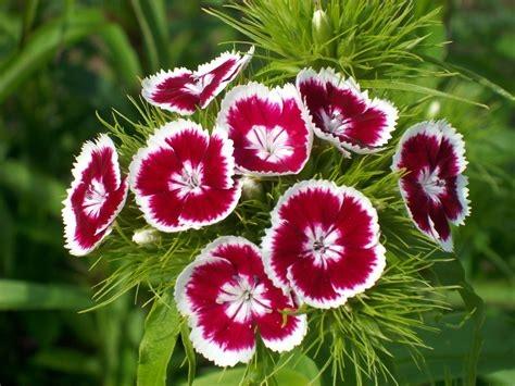 Dianthus fleur vivace