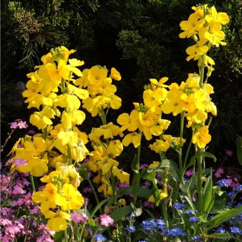 Giroflées fleurs