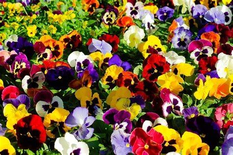 Pensées fleurs