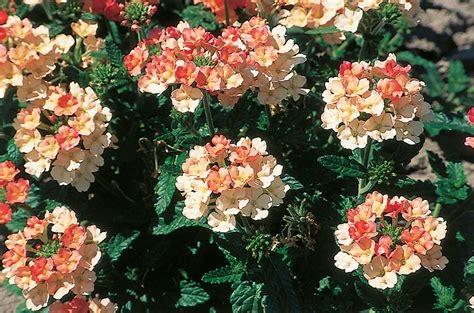 Verveines fleur