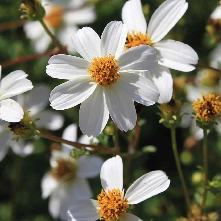 Bidens fleur