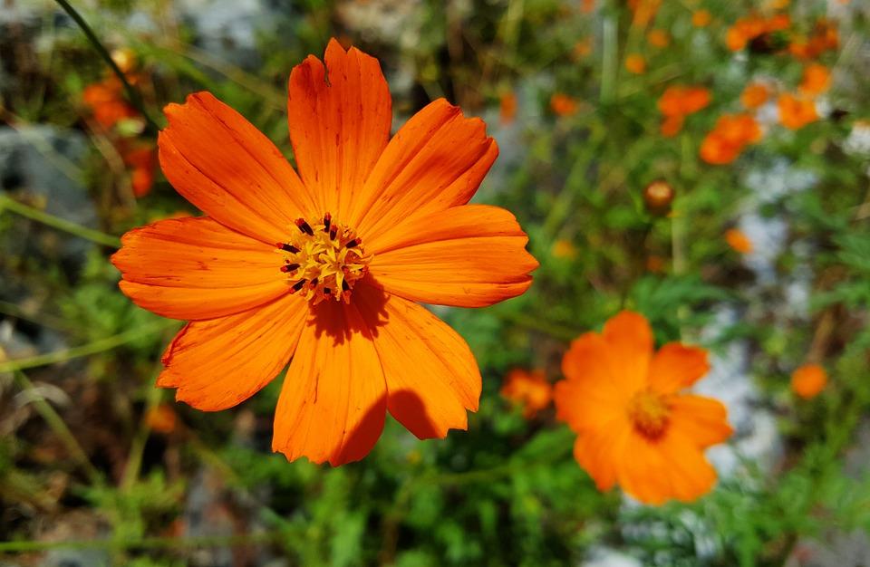Comos fleur