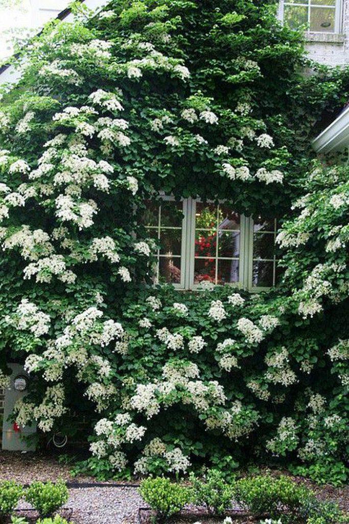 Plantes grimpantes hortensia