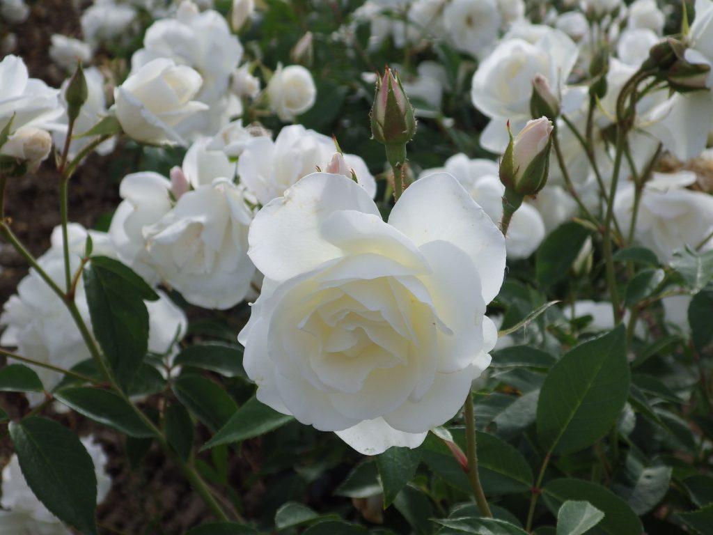 Polyanthas