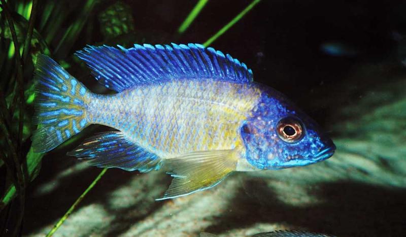 Cichlidé poissons eau chaude