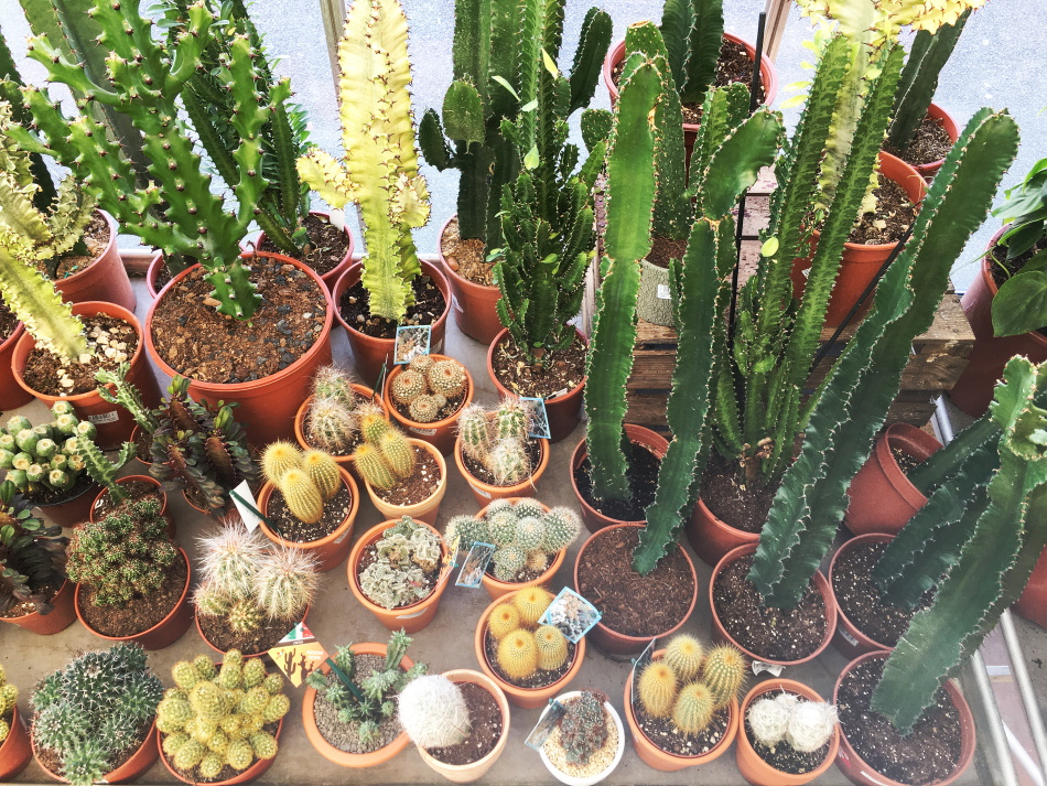 Cactus plantes grasses