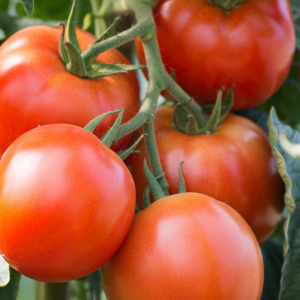 Graines, tomate Saint Pierre